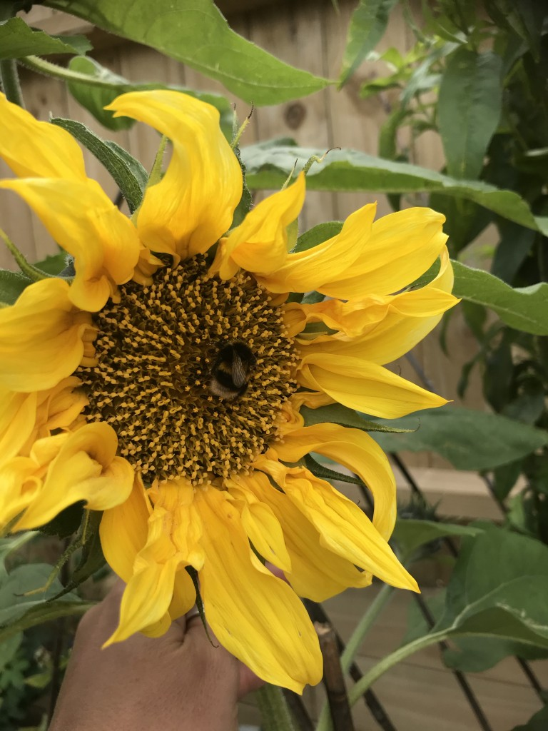 Celebrating the little wins - sunflower in one of the new beds